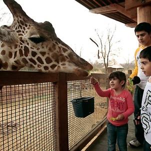 giraffefeeding